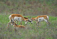 673080108 wild pronghorn antilocarpa americana spar and interact on a grassy hillside near canadian texas united states