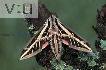 Adult Banded Sphinx Moth (Eumorpha fasciata), Florida.