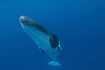 Dwarf minke whale.Balaenoptera acutorostrata