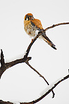 American Kestrel perched on a stick during a spring snowstorm in Yellowstone National Park.