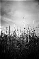 Wild Grasses | Black and White Photography