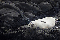 A harbor seal snoozes on the rocks off shore at Bean Hollow State Beach