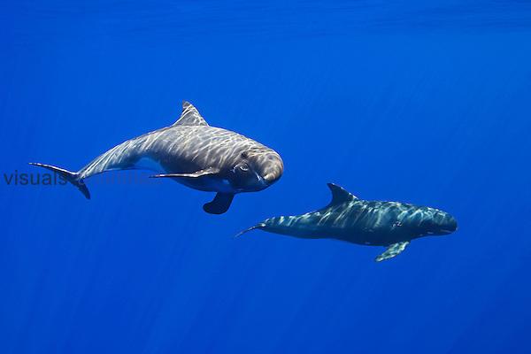Pygmy Killer Whales (Feresa attenuata) off the Kona Coast, Big Island, Hawaii, Pacific Ocean.