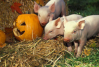 Three piglets play in hay and pumpkins on Hallloween