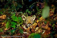 Jaguar (Panthera onca), juvenile in lowland tropical rainforest, Manu National Park, Peru.