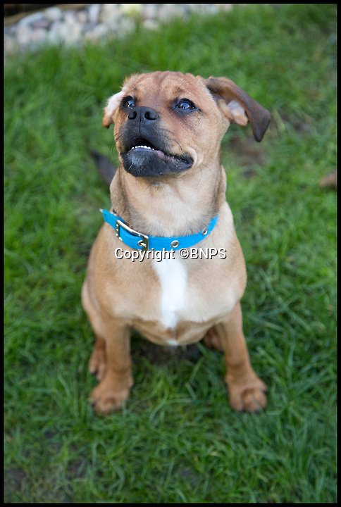 BNPS.co.uk (01202 558833)<br /> Pic: LauraDale/BNPS<br /> <br /> Dennis (5 months), who is a 'pugalier', in his garden in Dorchester.<br /> <br /> Britain's fattest cat has now got a doggy trainer to whip him into shape.<br /> <br /> Drill Sergeant Dennis the puppy has got Ulric the cat running, boxing and wrestling in a bid to fight the flab after dieting failed.<br /> <br /> The nine-year-old Norwegian Forest cat was declared morbidly obese by his vet last year when he tipped the scales at a whopping 2st 2lbs, the average weight of a three-year-old child and twice his normal weight.