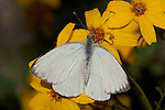 Great Southern White, Ascia monuste, Southern California
