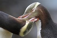 Yellow-Eyed Penguins allopreening (Megadyptes antipodes)