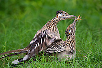 576010050 a wild pair of  greater roadrunners geococcyx califonianus in mating position with the male holding a grasshopper as a food offering on laguna seca ranch in hidalgo county texas united states
