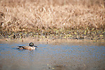 Columbia Ranch, Brazoria County, Damon, Texas; a Northern Shoveler (Anas clypeata) duck swimming on the surface of a slough