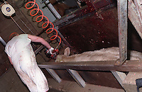 Photos taken inside Centennial Packers, a meat-packing plant in Calgary, Alberta, Canada showing a slaughter house worker using a captive bolt gun to stun the second of two cows on the kill line in 1989. (© Karen Ducey Photography)