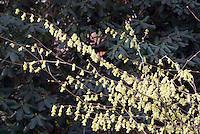 Corylopsis glabrescens