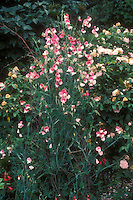 Lathyrus odoratus 'Painted Lady' sweet peas pink and white flowers