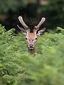 2015_08_24_deer_richmond_park