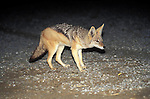Jackal on the shore of the Namib desert , Skeleton Coast Namibia.  This region is off limts due to Diamond mining activiety by De Beers consequently Jackals have no fear of human presence