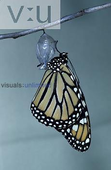 Monarch Butterfly ,Danaus plexippus, adult emerging from its chrysalis.
