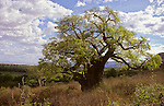Africa, Tanzania. The Baobab Tree of Life.