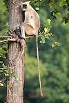 Grey, Common or Hanuman Langur, Semnopitheaus entellus, sitting in tree, Bandhavgarh National Park, long tail.India....