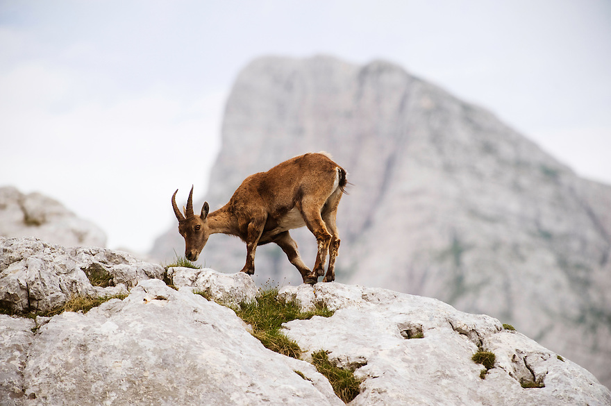 Ibex (Capra ibex) feeding<br /> Julian Alps<br /> Triglav National Park, Slovenia<br /> July 2009