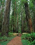 Walking path through giant redwoods Stout Grove Jedidiah Smith Redwoods State Park California USA