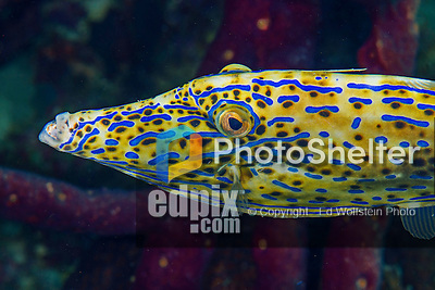 28 January 2016:  A Scrawled Filefish (Aluterus scriptus) inhabits the reef at Captain Don's Habitat in Bonaire. Bonaire is known for its pioneering role in the preservation of the marine environment. A part of the Netherland Caribbean Islands, Bonaire is located off the coast of Venezuela and offers excellent scuba diving, snorkeling and windsurfing.  Mandatory Credit: Ed Wolfstein Photo *** RAW (NEF) Image File Available ***