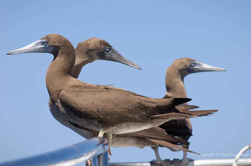 El Canon dive site, San Benedicto Island, Revillagigedos Islands, Mexico; Brown booby (Sula leucogaster) on the bow of the Solmar V dive boat , Copyright © Matthew Meier, matthewmeierphoto.com All Rights Reserved