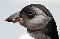 Atlantic Puffin Chick Portrait  #P44