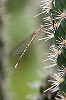 338630011 a wild female springwater dancer argia plana perches on a cactus plant near empire creek las cienegas natural area santa cruz county arizona united states