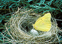 Yellow butterfly alights on egg in straw nest