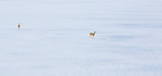 Whitetail does crossing a frozen lake in Montana