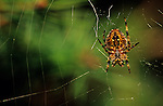 Close-up of garden spider repairing his torn web at sunset Bothell, Washington State USA.