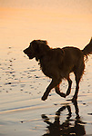 Golden Retriever running on the beach