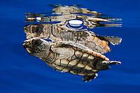 Loggerhead Sea Turtle Pictures