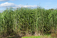 Miscanthus biomass crop growing for energy sources, biofuel, Miscanthus x giganteus