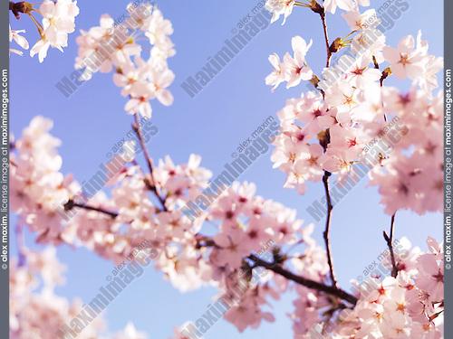 Closeup of cherry blossom, Japanese cherry tree flowers over blue sky
