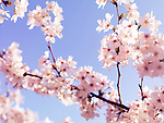 Closeup of cherry blossom, Japanese cherry tree flowers over blue sky