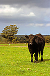 Europe, United Kingdom, Wales. A Black Angus cow stands in a farm field in the Welsh countryside.