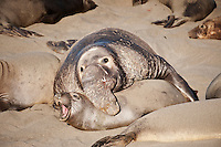 Adult male northern elephant seals mates with female on beach at Piedras Blancas, San Simeon, California