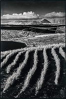 Europe, Espagne, Iles Canaries, Lanzarote:  Tinajo : Champ cultivé  // Europe, Spain, Canary Islands, Lanzarote: Tinajo: Field grown