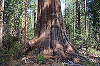Sequoia,aka California redwood, in Calaveras Big Trees State Park, California, USA, 201304211667<br /> <br /> <br /> Copyright Image from Victor Patterson, 54 Dorchester Park, Belfast, UK, BT9 6RJ<br /> <br /> Tel: +44 28 9066 1296<br /> Mob: +44 7802 353836<br /> Voicemail +44 20 8816 7153<br /> Skype: victorpattersonbelfast<br /> Email: victorpatterson@me.com<br /> Email: victorpatterson@ireland.com (back-up)<br /> <br /> IMPORTANT: If you wish to use this image or any other of my images please go to www.victorpatterson.com and click on the Terms &amp; Conditions. Then contact me by email or phone with the reference number(s) of the image(s) concerned.