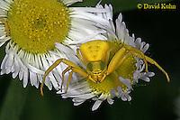 Spiders: Garden, Crab