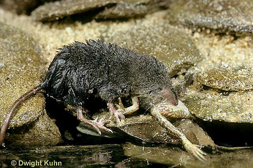 MU40-026z  Water Shrew - with frog prey - Sorex palustris