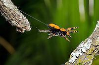 An apache jumping spider jumping