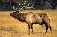 Bull Elk bugling (Cervus canadensis), Yellowstone National Park, Wyoming, USA.