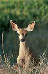 Mule deer fawn in Montana