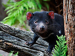 Captive Tasmanian Devil  at the Something Wild animal sanctuary, near Mt. Field National Park, Tasmania, Australia.....Like most of the devils I photographed over the last week this devil was either recovering from injuries, or an orphan, seperated from parents suffering from the Tasmanian Devil Facial Tumor Disease, which is a contagious cancer. Many like these will be released into the wild.