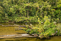Juicy green native forest along Pororari River near Punakaiki with nikau palms and tree ferns, Paparoa National Park, Buller Region, South Island, New Zealand, NZ