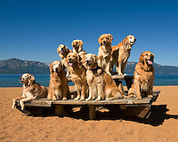 Golden retrievers pose on a picnic table while attending Camp Winnaribbun, a dog camp, at Lake Tahoe, California.