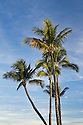 Coconut palm trees; Wailea, Maui, Hawaii.