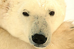 Cape Churchill Polar Bears Tundra Lodge